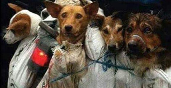 diaforetiko.gr : yang1 Η συνταξιούχος που αγοράζει σκυλιά για να τα σώσει από τη σφαγή στο «Φεστιβάλ Σκυλίσιου Κρέατος» της Κίνας!