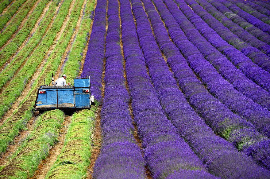 diaforetiko.gr : lavender fields harvesting 1 Η διαδικασία συγκομιδής λεβάντας είναι η πιο εντυπωσιακή εργασία που είδατε ποτέ!