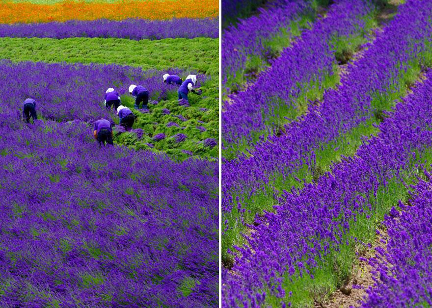 diaforetiko.gr : lavender fields harvesting 2 Η διαδικασία συγκομιδής λεβάντας είναι η πιο εντυπωσιακή εργασία που είδατε ποτέ!