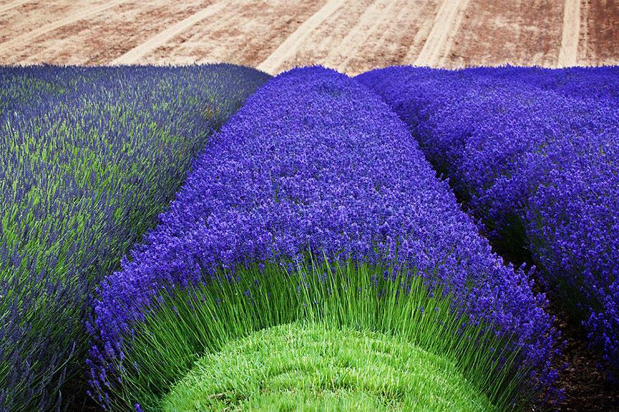 diaforetiko.gr : lavender fields harvesting 5 Η διαδικασία συγκομιδής λεβάντας είναι η πιο εντυπωσιακή εργασία που είδατε ποτέ!