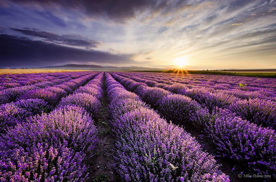 diaforetiko.gr : lavender fields harvesting 6 Η διαδικασία συγκομιδής λεβάντας είναι η πιο εντυπωσιακή εργασία που είδατε ποτέ!