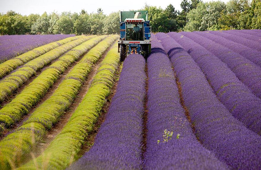 diaforetiko.gr : lavender fields harvesting 81 Η διαδικασία συγκομιδής λεβάντας είναι η πιο εντυπωσιακή εργασία που είδατε ποτέ!