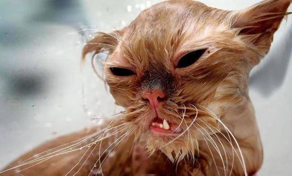 16 Γάτες έξω φρενών που υπέστησαν το μαρτύριο του μπάνιου.