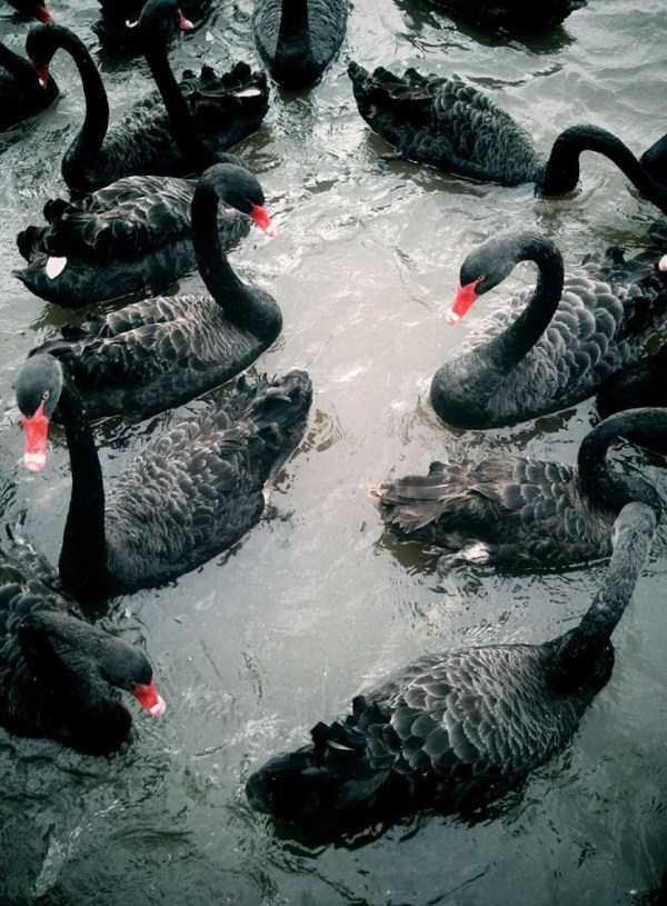 black-swan-photos-1