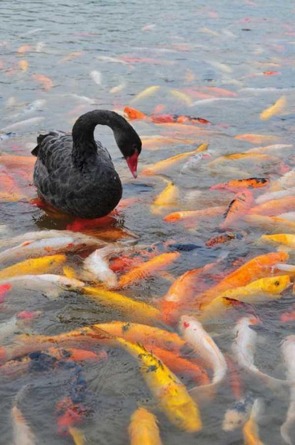 black-swan-photos-10