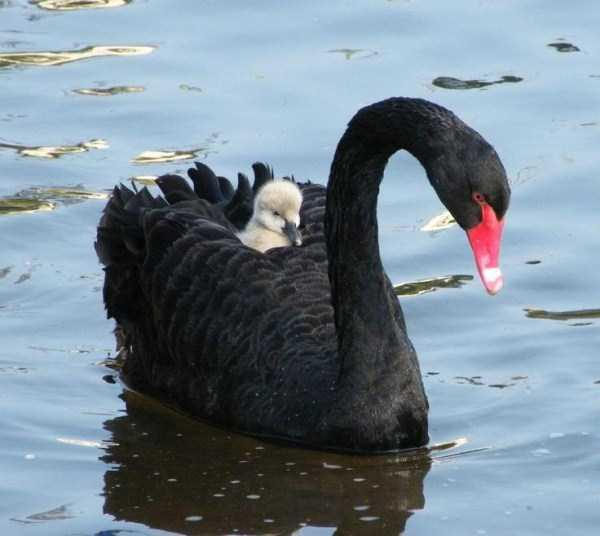 black-swan-photos-13