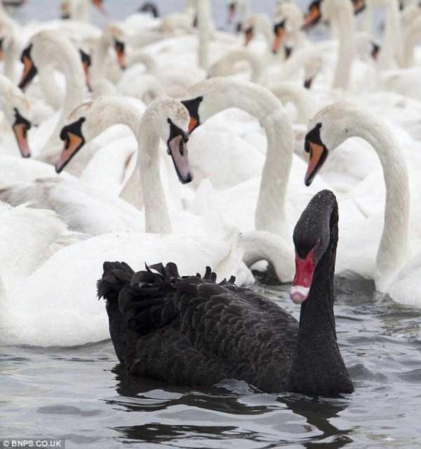 black-swan-photos-14
