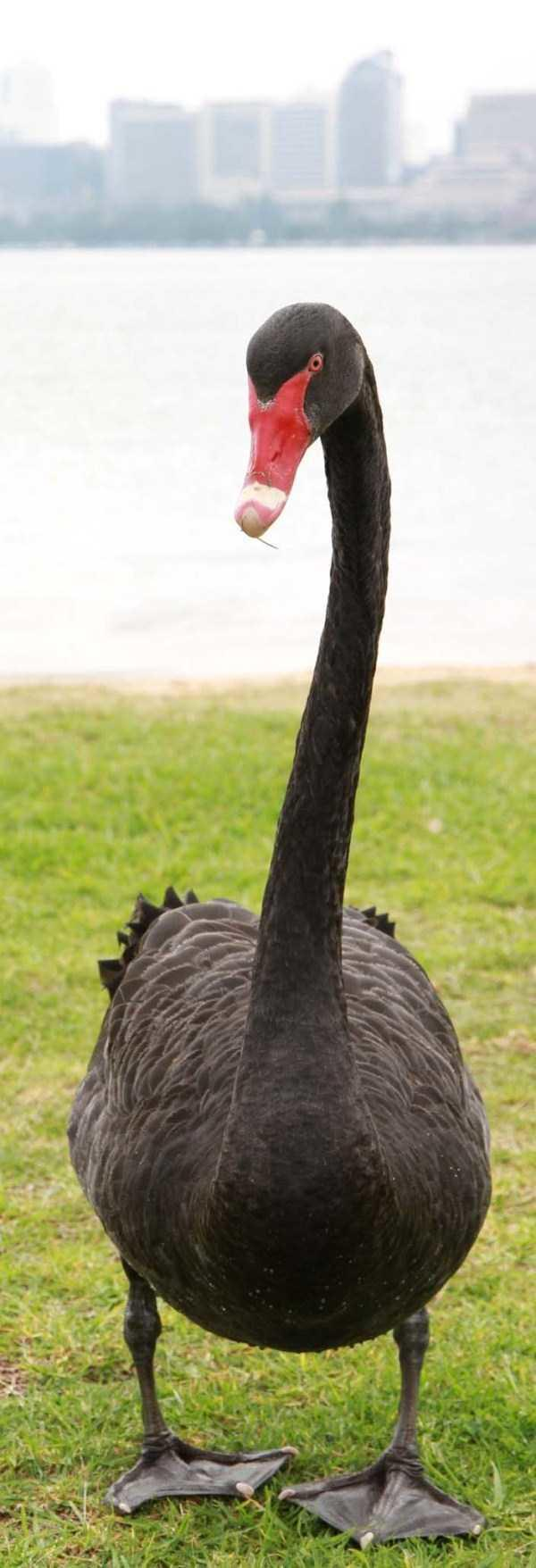 black-swan-photos-18