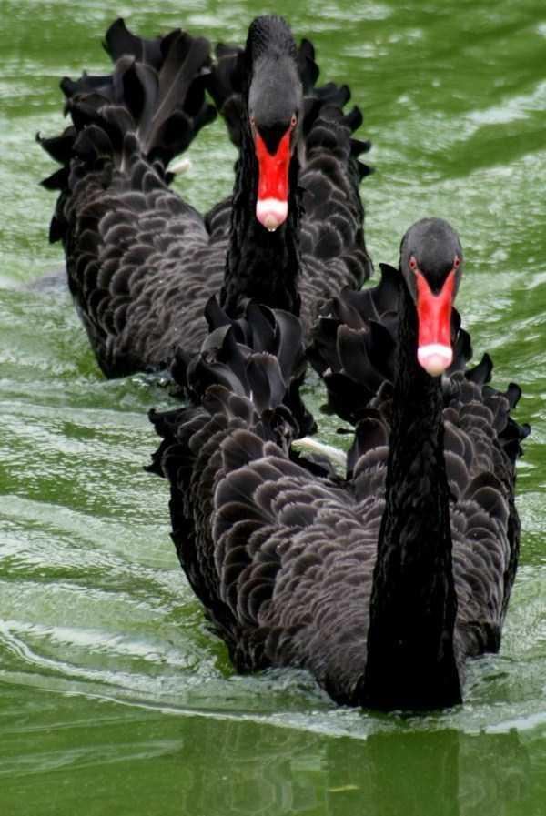 black-swan-photos-3