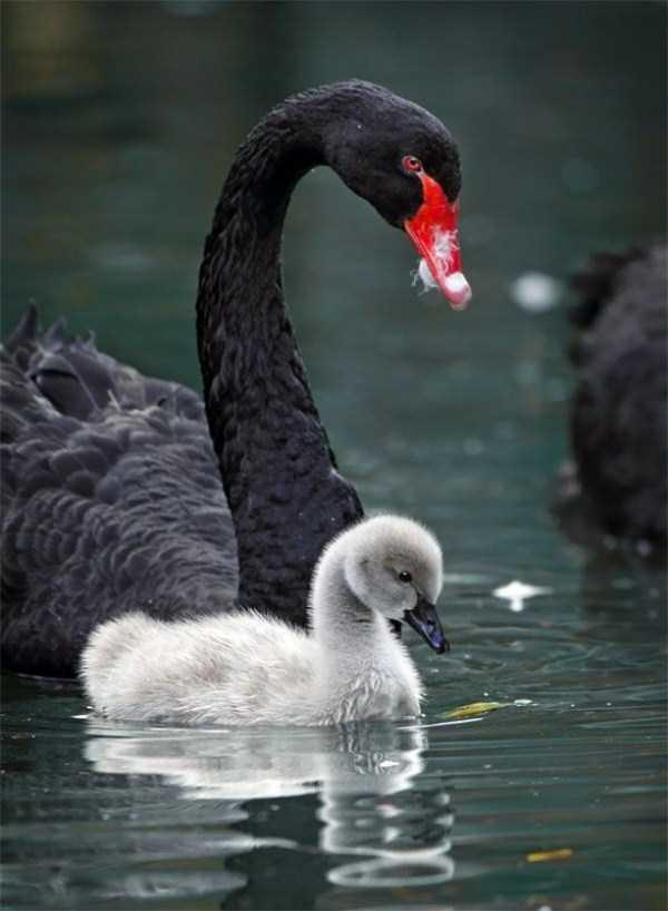 black-swan-photos-8