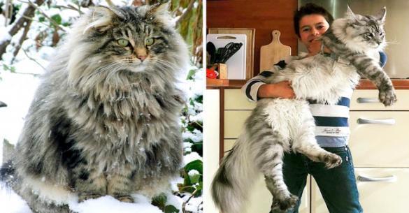 16 Γάτες τόσο τεράστιες που κάνουν όλες τις άλλες να μοιάζουν με γατάκια. (Φωτογραφίες)