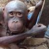 saddest-orangutan-trending-large_trans++pJliwavx4coWFCaEkEsb3kvxIt-lGGWCWqwLa_RXJU8