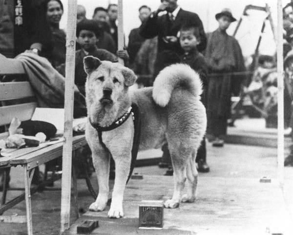 Χάτσικο, ο πιο πιστός σκύλος του κόσμου. Πήγαινε για 10 χρόνια, κάθε βράδυ, την ίδια ώρα στον σταθμό του τρένου, ελπίζοντας να βρει το αφεντικό του, που όμως είχε πεθάνει.