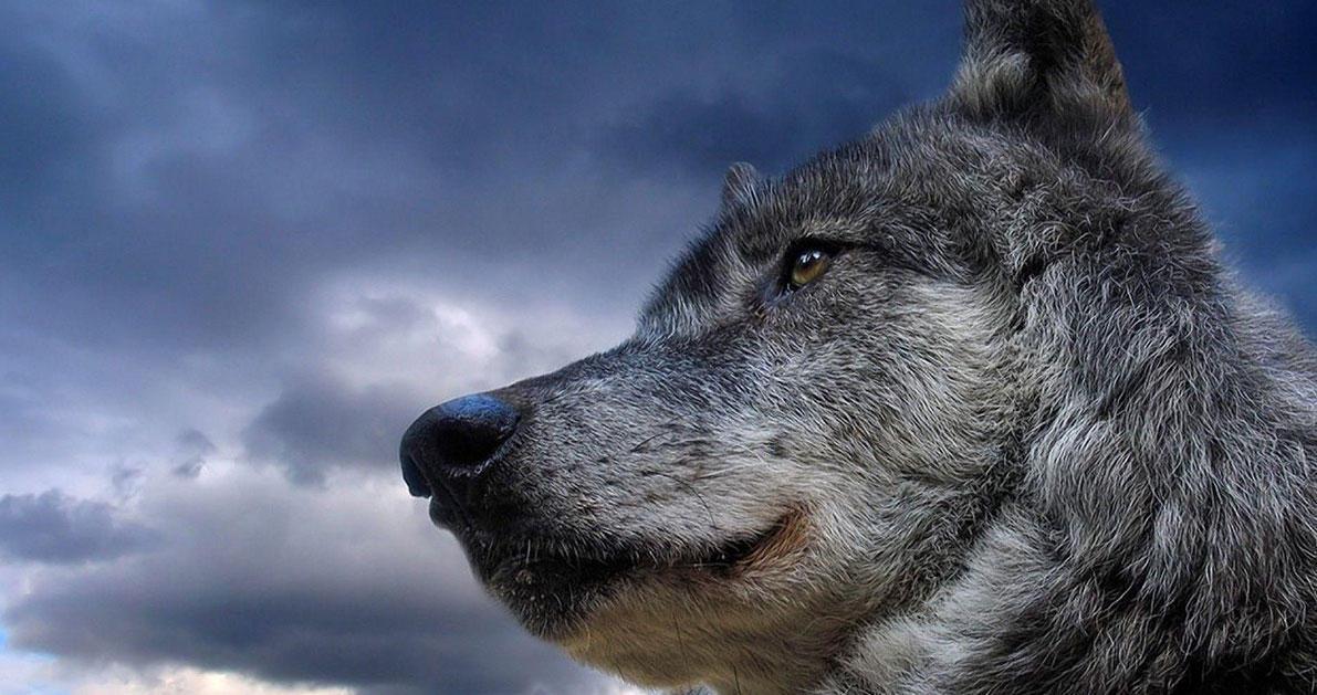 Οι Λύκοι επιστρέφουν στη Πάρνηθα μετά από 50 χρόνια εξαφάνισης.