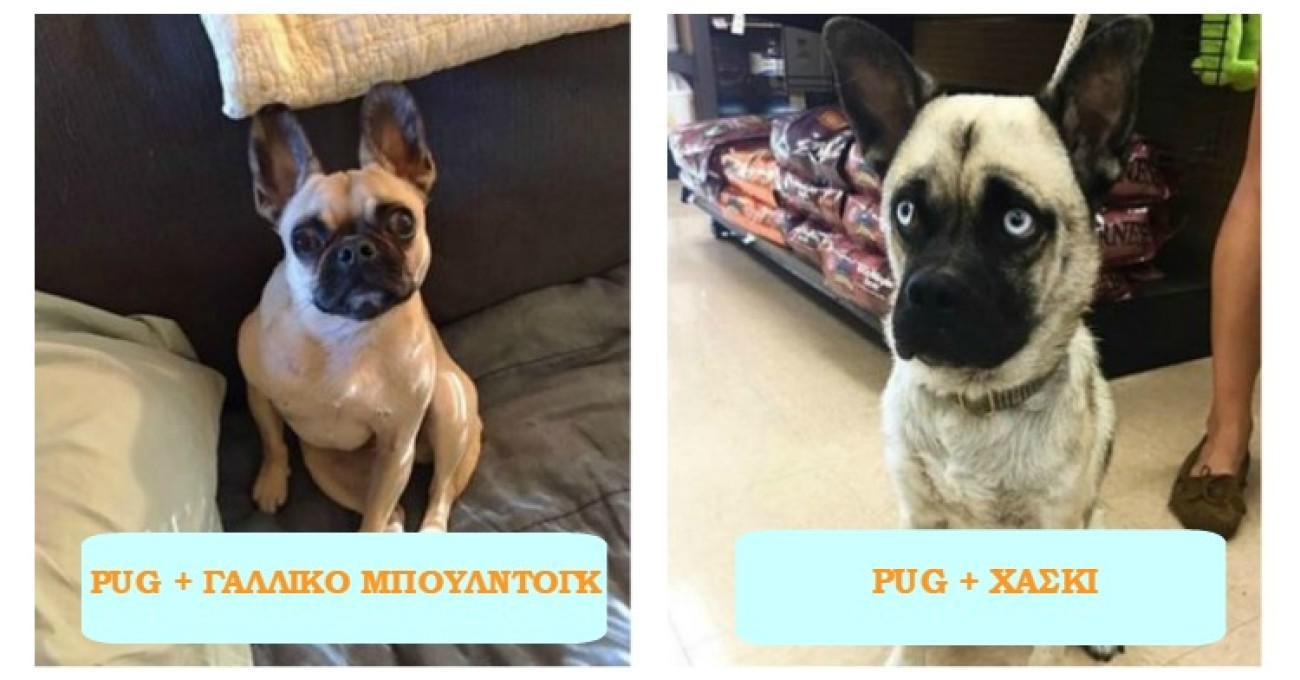 Πώς μοιάζουν 15 σκυλάκια που έχουν γεννηθεί από την διασταύρωση pug με άλλες ράτσες σκύλων;