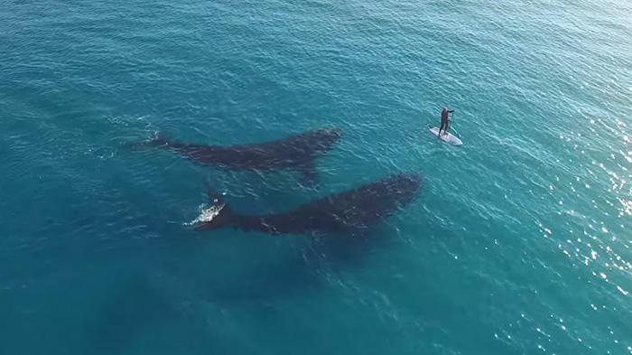 Εντυπωσιακό εναέριο βίντεο από drone καταγράφει φάλαινες να κολυμπούν δίπλα σε άνθρωπο