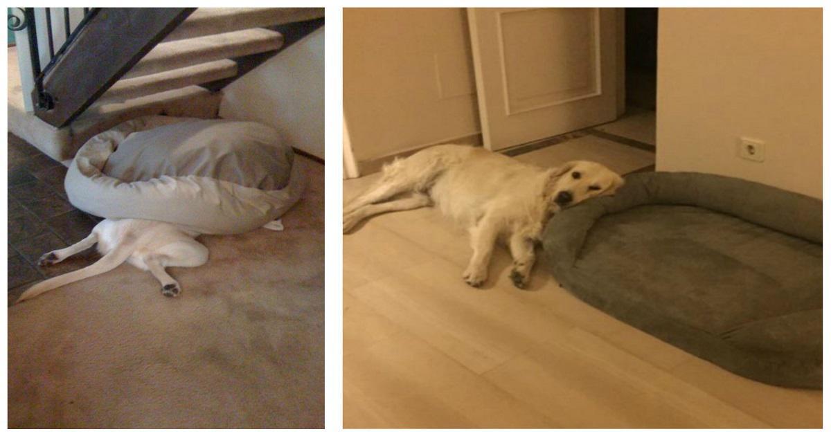 20 σκυλιά που δεν έμαθαν ποτέ πώς να χρησιμοποιήσουν σωστά το κρεβάτι τους.