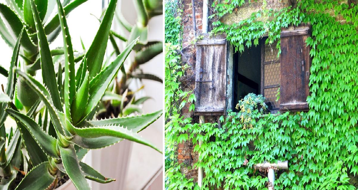 Έρευνα της NASA – Αυτά τα φυτά είναι βόμβες οξυγόνου – Πάρτε τουλάχιστον ένα σπίτι σας