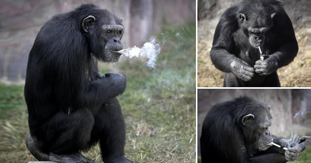 Θεριακλής Χιμπατζής ξεχαρμανιάζει ανενόχλητος σε ζωολογικό κήπο της Βόρειας Κορέας.