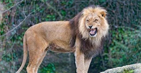 12χρονο κορίτσι που απήχθη και ξυλοκοπήθηκε από άνδρες, διασώθηκε από 3 λιοντάρια