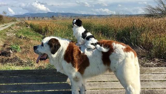 Τεράστιος σκύλος κουβαλάει μαζί του τον μικροσκοπικό φίλο του όπου και να πηγαίνει