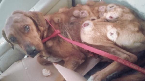 Κανείς δεν αγάπησε αυτό το σκυλί επειδή το σώμα του ήταν γεμάτο όγκους. Μετά από μια θαυματουργή επέμβαση, σήμερα είναι αγνώριστο!