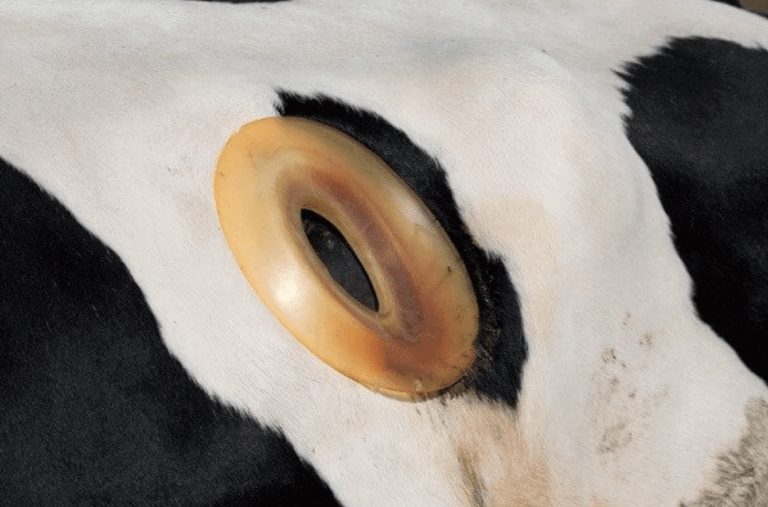 the-agriculture-industry-is-mutilating-cows-by-drilling-holes-in-them-1