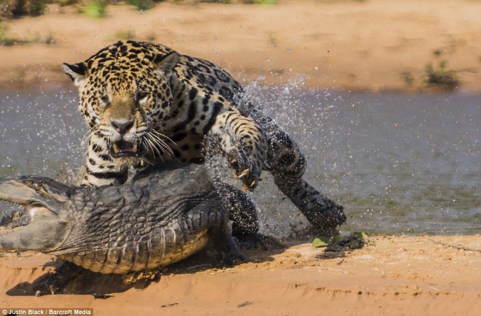 Η φύση είναι τρομακτική! Τζάγκουαρ επιτίθεται σε αλιγάτορα και τον τρώει ζωντανό