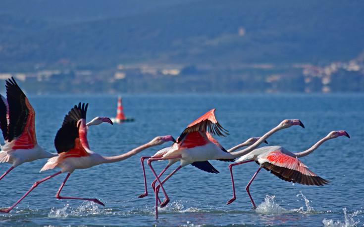 Τα υπέροχα φλαμίνγκο του Ναυπλίου έκαναν εκεί μια στάση κατά τη φθινοπωρινή τους μετανάστευση