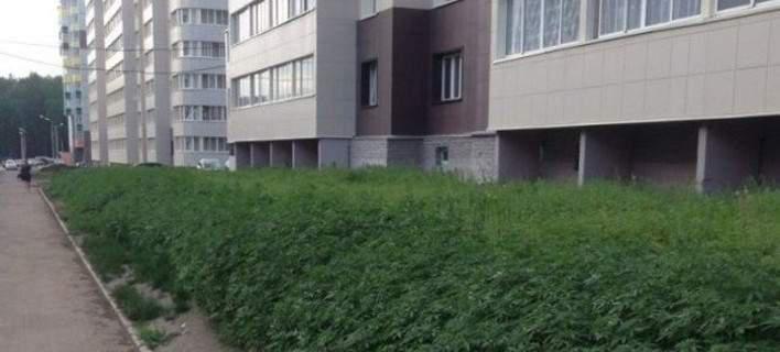 Επικό λάθος: Στη Μόσχα αντί για γκαζόν φύτεψαν κατά λάθος κάνναβη σε σχολείο