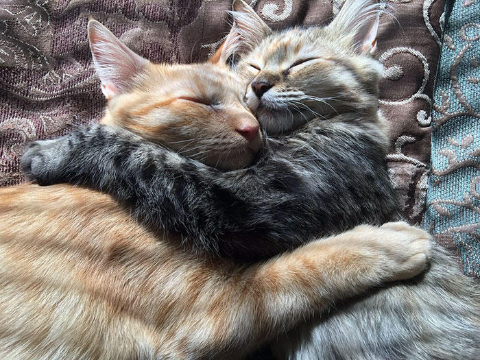cats-kissing-in-love-louie-luna-6