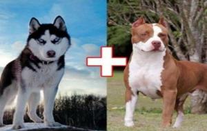 a-husky-got-pregnant-of-a-pit-bull-male-now-you-have-to-see-their-puppies-tn