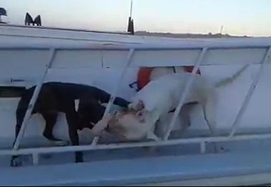 Εντονες αντιδράσεις προκάλεσε βίντεο στο Διαδίκτυο, όπου εικονίζονται δύο πιτ μπουλ να παλεύουν σε σκάφος, που ήταν δεμένο στο λιμάνι της Ρόδου.