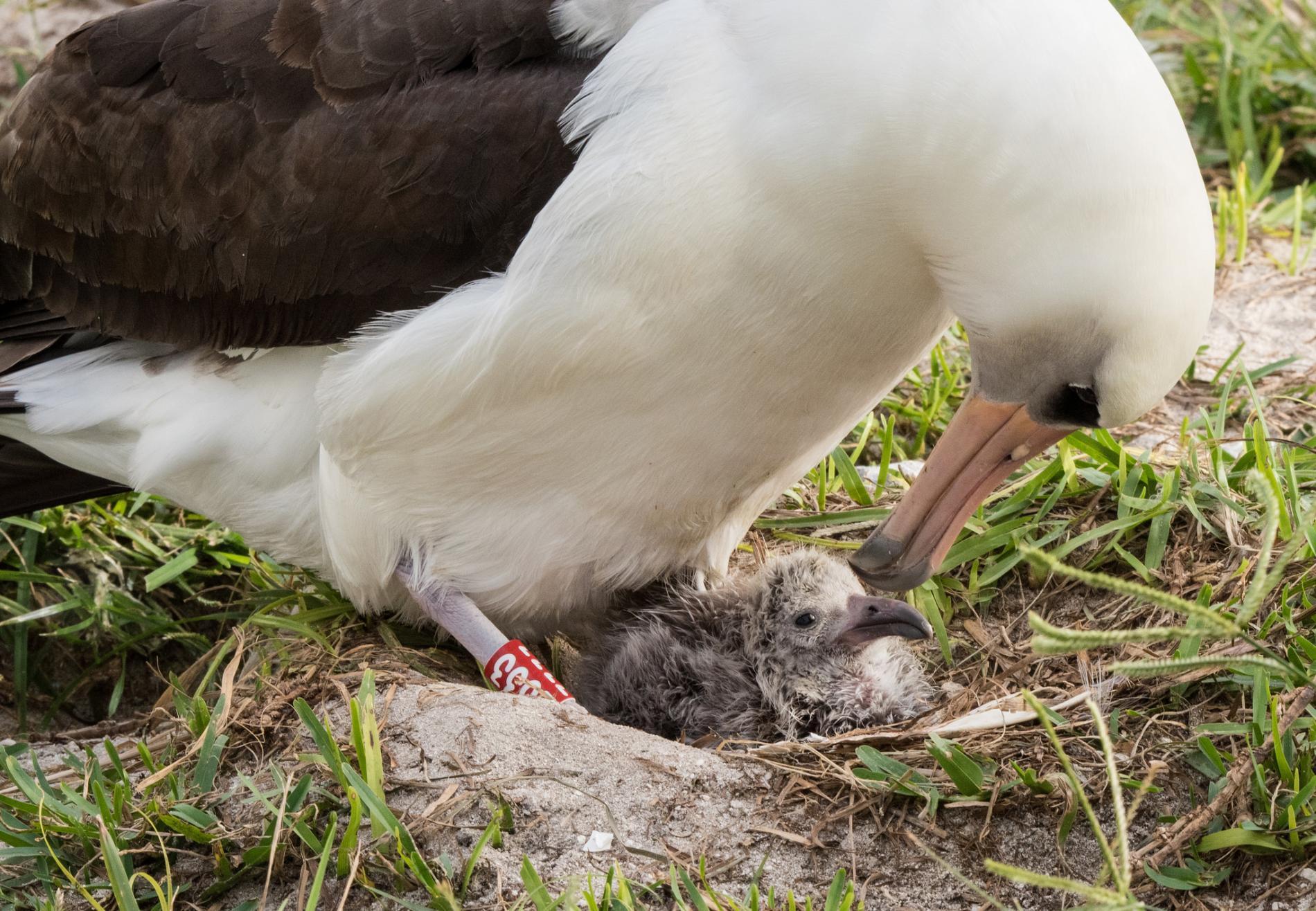 Η «σούπερ-μαμά» της φύσης – Το μεγαλύτερο σε ηλικία πουλί στον κόσμο  έχει και πάλι μωρό στα 66 του