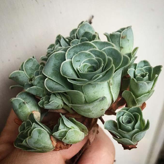 Παχύφυτα που θυμίζουν τριαντάφυλλα (6)