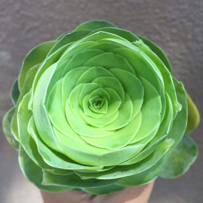 Παχύφυτα που θυμίζουν τριαντάφυλλα (11)