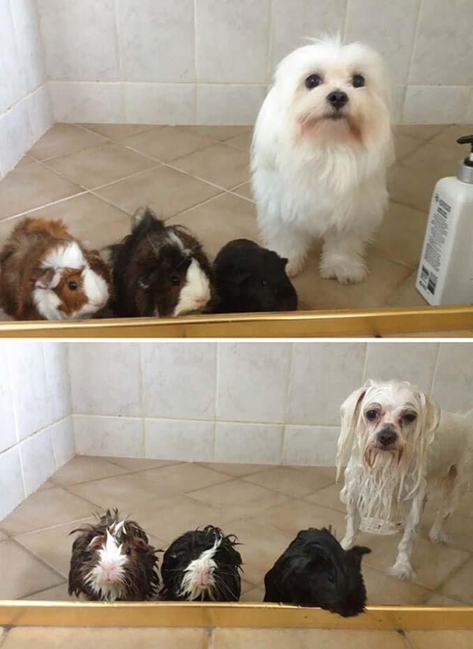 Φωτογραφίες σκύλων πριν και μετά το μπάνιο (3)