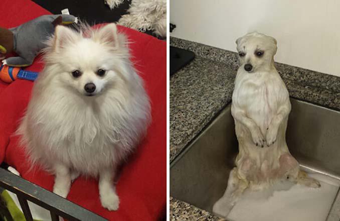 Φωτογραφίες σκύλων πριν και μετά το μπάνιο (4)