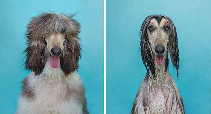 Φωτογραφίες σκύλων πριν και μετά το μπάνιο (6)