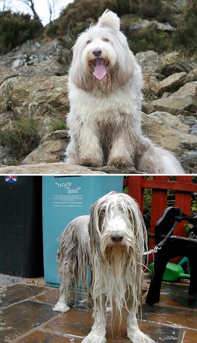 Φωτογραφίες σκύλων πριν και μετά το μπάνιο (8)