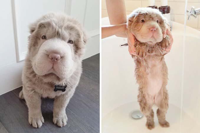 Φωτογραφίες σκύλων πριν και μετά το μπάνιο (9)