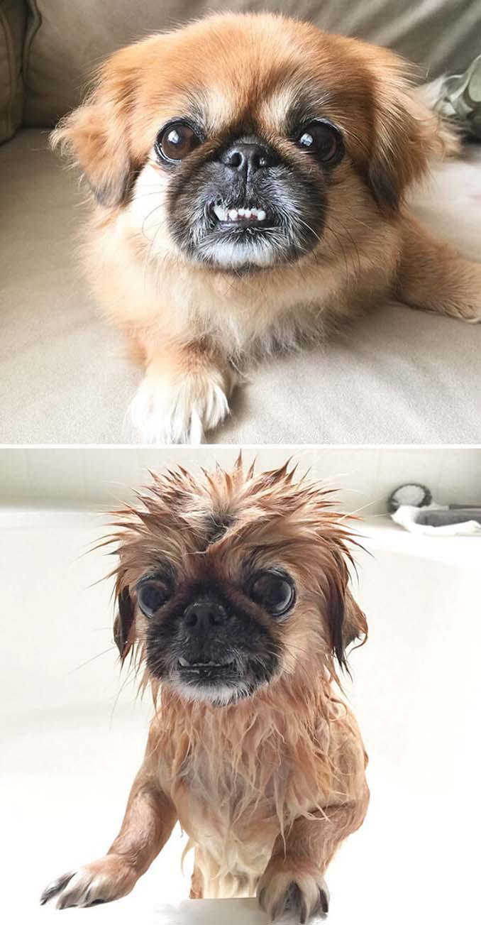 Φωτογραφίες σκύλων πριν και μετά το μπάνιο (11)
