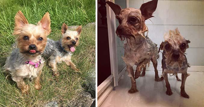 Φωτογραφίες σκύλων πριν και μετά το μπάνιο (13)