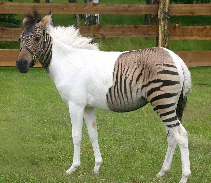#4 The Strangely Striped Zebra.
