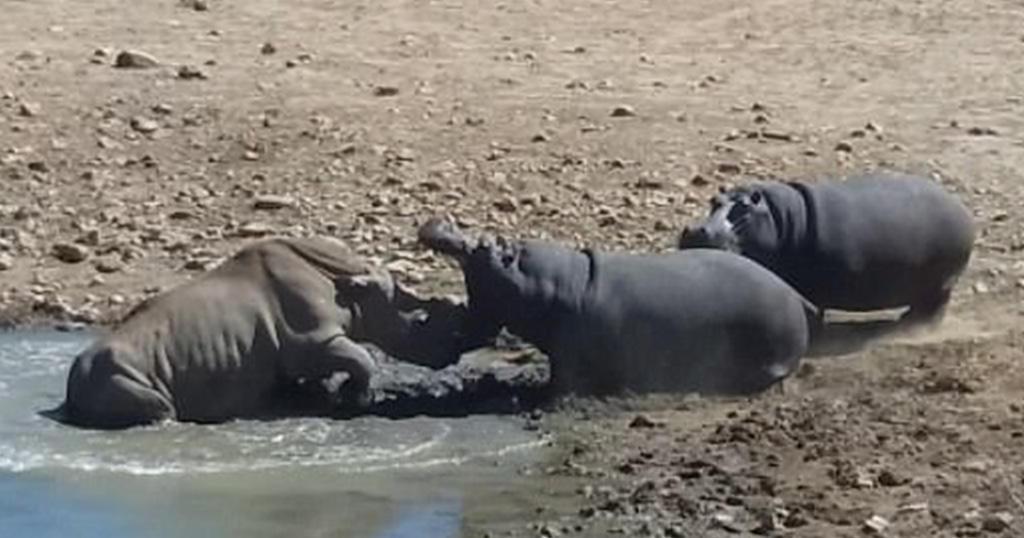 Θυμωμένος ιπποπόταμος πνίγει ρινόκερο που αρνήθηκε να φύγει από το νερόλακκο του