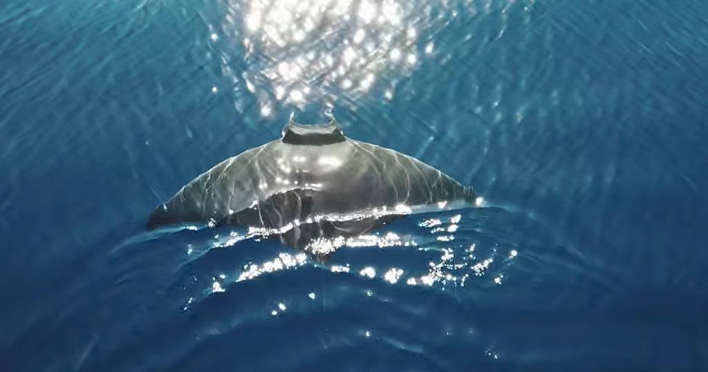 Τεράστιο σαλάχι 2,5 μέτρων «πιάστηκε» να κολυμπά ανοιχτά της Μυκόνου