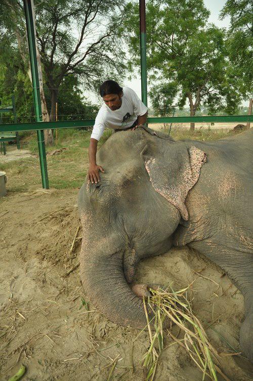 The vet gently rubs Raju