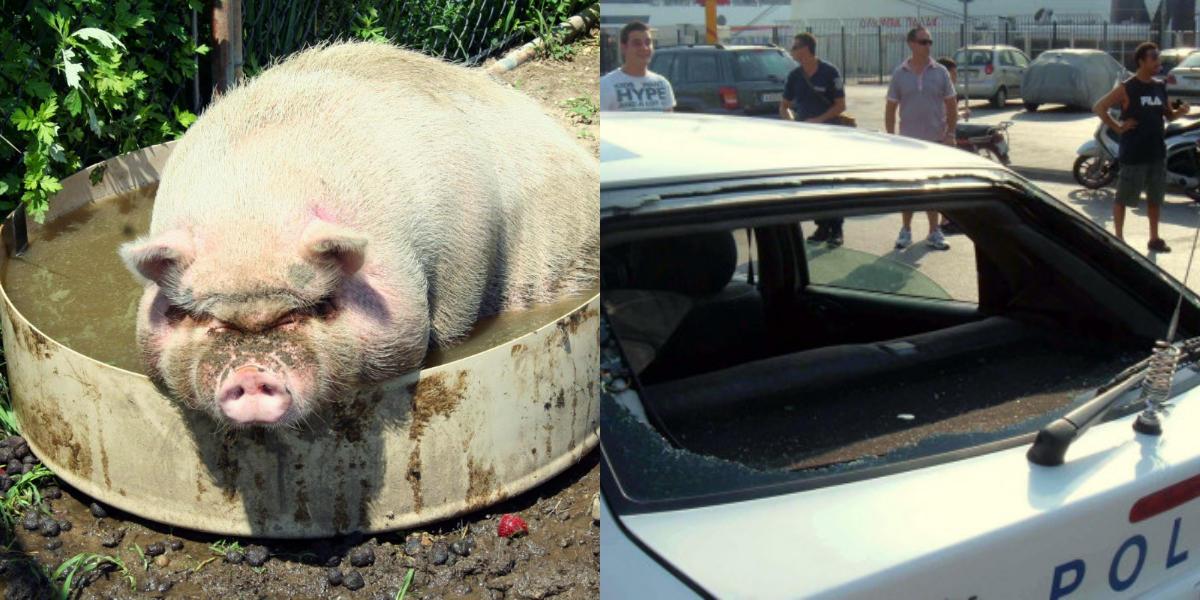 Γουρούνια το έσκασαν από το μαντρί και επιτέθηκαν σε αστυνομικούς στην Κρήτη