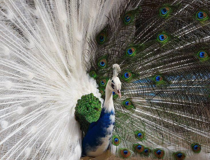 #1 The Half-White Peacock.