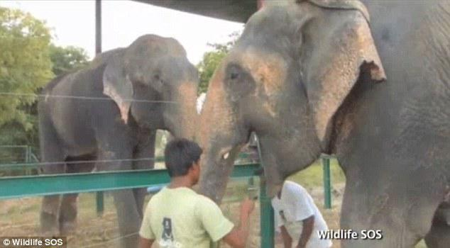 Raju was introduced to Female elephant Phoolkali and they both shared food